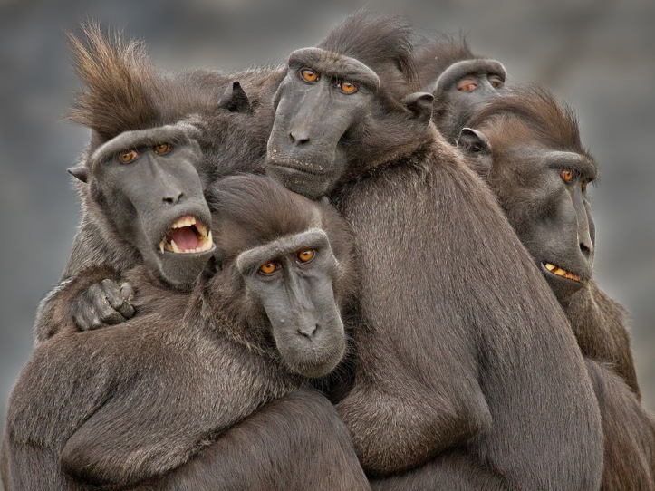 Sulawesi crested black macaques in Indonesia