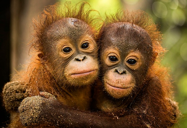 orphaned orangutans in Borneo